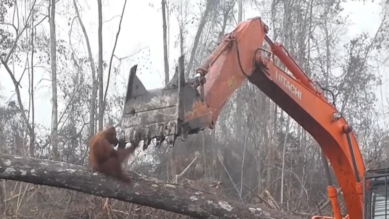 orangutan-attacks-digger-destroying-its-home
