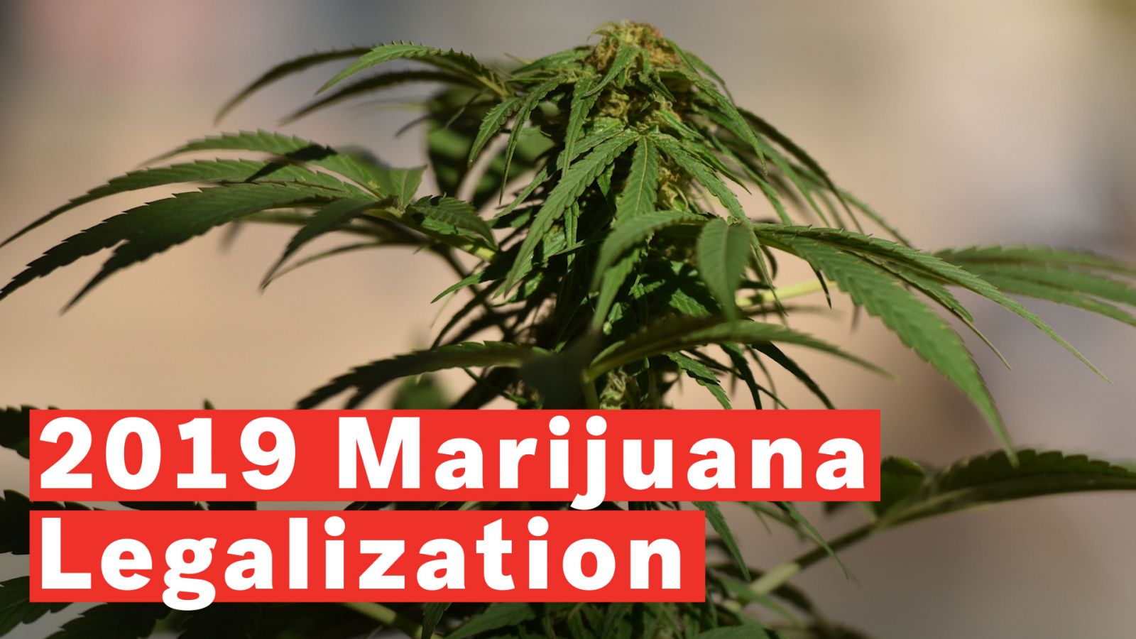 Top 5 Strongest Marijuana Strains In Terms Of THC Levels